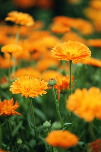 گل همیشه بهار Marigold (Calendula officinalis)