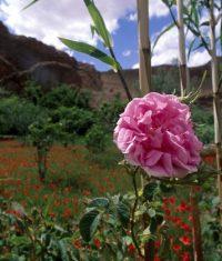 گل محمدی Rosa damascena