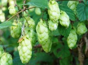 گیاه دارویی رازک، راز ساخت ماءالشعیر!
