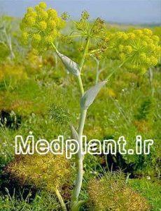 باریجه ferula gummosa (2)