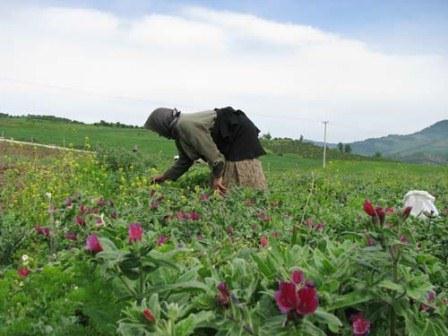 برداشت گل گاوزبان ایرانی در استان گیلان