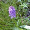 ثعلب Orchis maculata