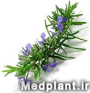 رزماری rosemarinus officinalis