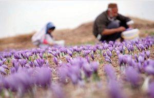 زعفران Crocus sativus) Saffron)