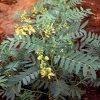 سنای هندی cassia angustifolia