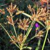 Cyperus longus سعد کوفی یا اویارسلام