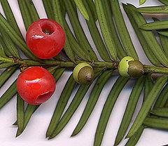 سرخدار Taxus baccata
