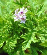 شمعدانی عطری (Pelargonium_odoratissimum )