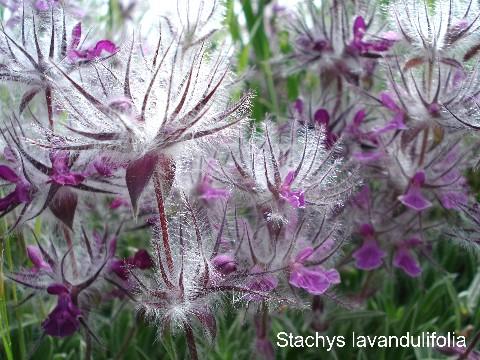 StachysLavandulifolia .چای چوپان. لولو پشمکی