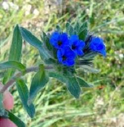 گیاه ابوخلسا Arnebia euchroma