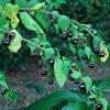 بلادون (شابیزک یا مهرگیاه) Atropa belladonna