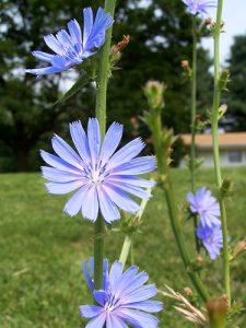 کاسنی Cichorium intybus