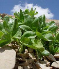 Kelussia odoratissima- کرفس معطر کوهی - کلوس