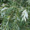 بید سفید Salix alba