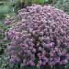 Acanthophyllum چوبک