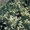 ,Parthenium argentatum وایول