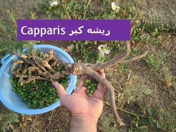 ریشه کبر Capparis spinosa