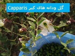 گل ودانه کبر Capparis spinosa