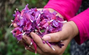 گل گاو زبان ایرانی Echium amoenom
