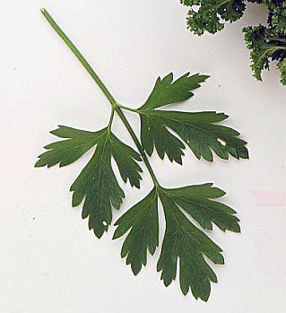 جعفری Petroselinum crispum