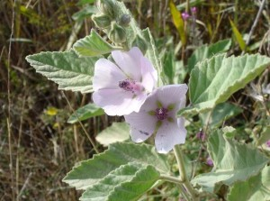 ختمی دارویی Althea officinalis