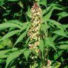Cannabis sativa شاهدانه