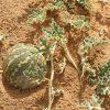Citrullus colocynthis هندوانه ابوجهل