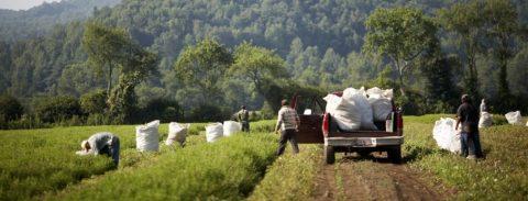 برداشت گیاهان دارویی مزرعه