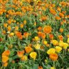 calendula officinalis مزرعه گل همیشه بهار
