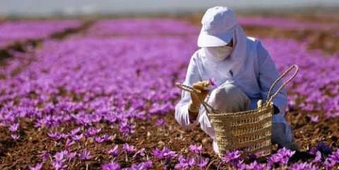 مزرعه زعفران