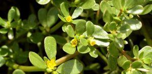 خرفه Portulaca oleracea
