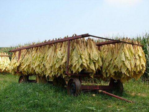 tobacco drying خشک کردن تنباکو