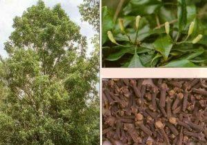 منظره درخت، گل و میوه خشک کشده میخک درختی Syzygium aromaticum