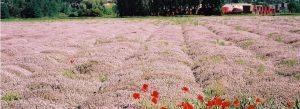 مزرعه آویشن باغی