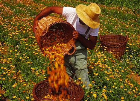 مزرعه برداشت گل همیشه بهار