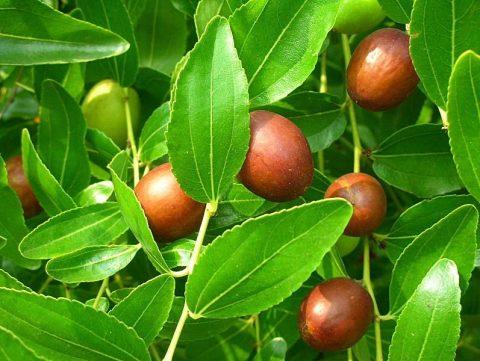 میوه های عناب
