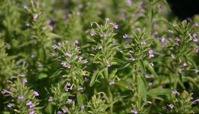 کاکوتی Ziziphora tenuior