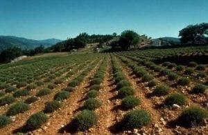 مزرعه آویشن