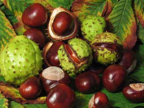 Aesculus hippocastanum horse chestnut شاه بلوط هندی