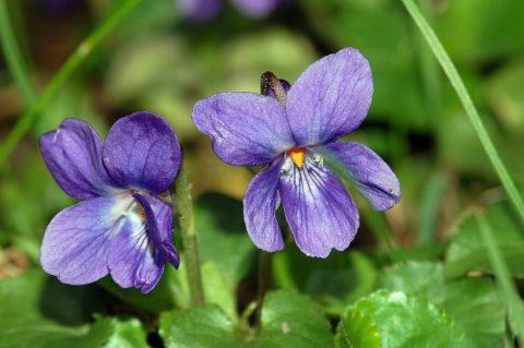 بنفشه معطر Viola odorata