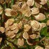 گلپر Heracleum persicum