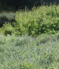کشت مزرعه باغ تولید گیاهان دارویی و معطر