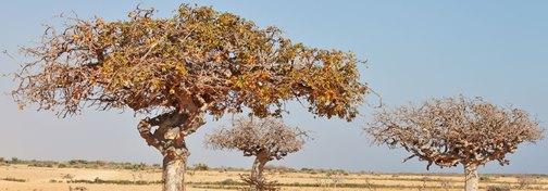 صمغ درخت مر در بیابان مرتع دشت