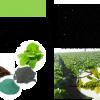 کلاتها و آمینوکلاتها و نقش تغذیه ای آنها در گیاهان
