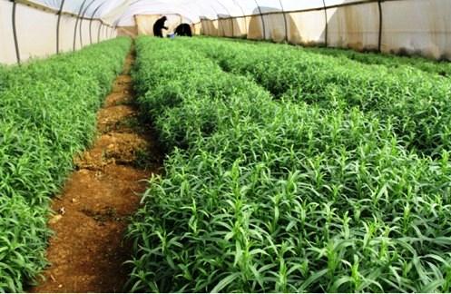 گلخانه گیاهان دارویی فلسظین