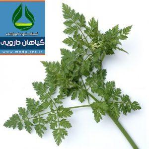 معرفی گیاه دارویی اَنیسون Pimpinella anisum