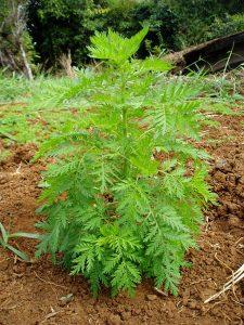 Artemisia annua گندواش درمنه یکساله