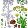 معرفی گیاه دارویی آنغوزه Ferula assa-foetida