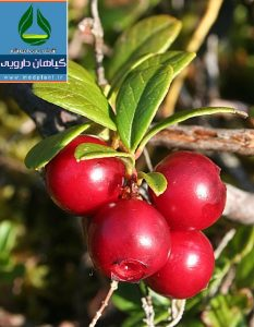 گیاه دارویی انگور خرس Arctostaphylos uva-ursi L