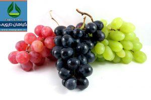 انگور Vitis vinifera